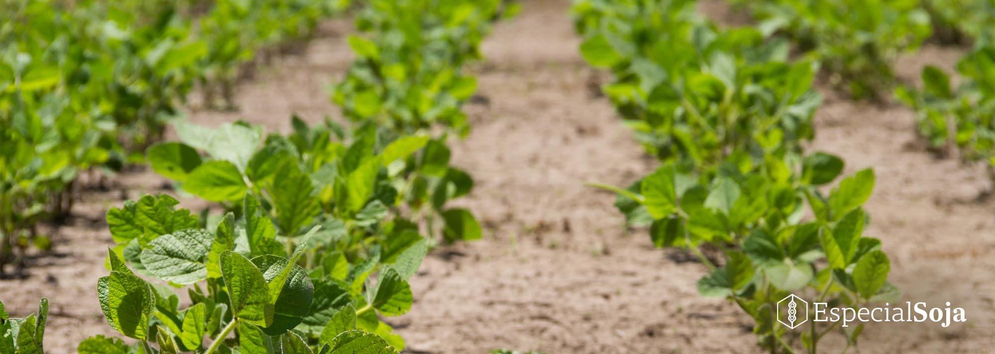 Plagas, malezas y hongos: una estrategia de protección total para la soja