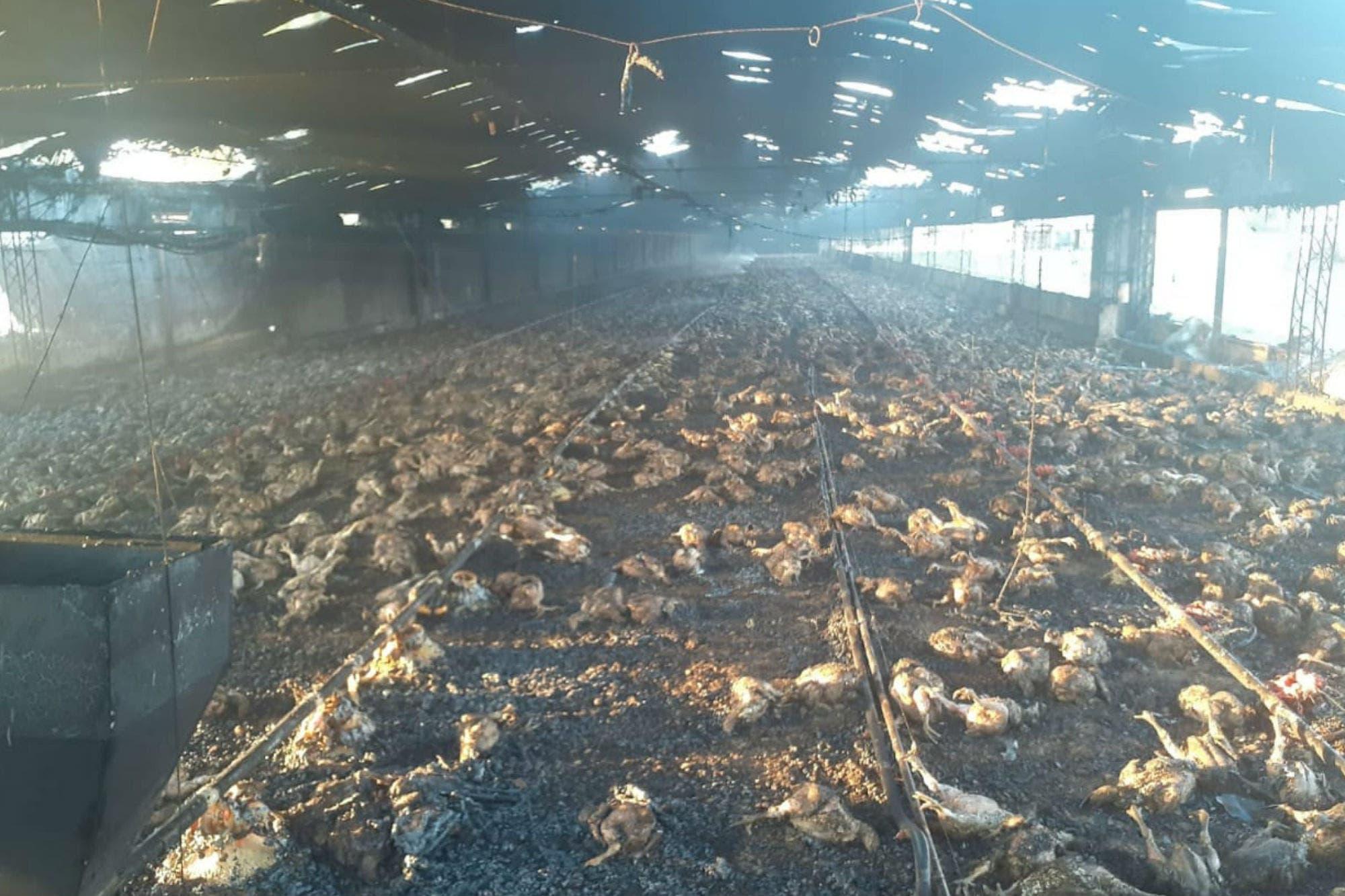 Por un incendio. Murieron 20.000 pollos en un establecimiento avícola